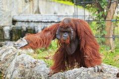 Orangután en parque zoológico Foto de archivo libre de regalías