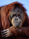 Orangután feliz Foto de archivo