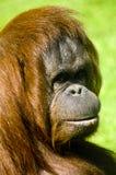Orangután femenino Imagen de archivo libre de regalías
