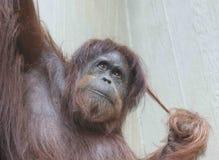 Orangután femenino del retrato en un árbol imagen de archivo