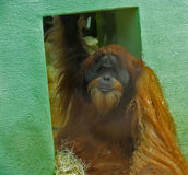 Orangután grande del mono cerca de la pared verde Fotos de archivo