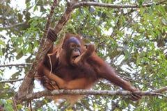 Orangután joven fotografía de archivo