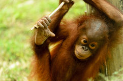 Orangután joven Fotos de archivo
