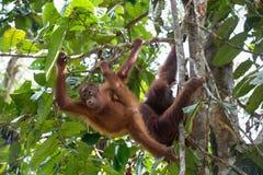 Orangután joven así como su madre Imágenes de archivo libres de regalías