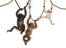 Orangután joven, Gibbon joven de Pileated y Bonobo joven colgando en cuerdas Imagenes de archivo