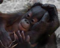 Orangután lindo del bebé, mano apacible fotografía de archivo