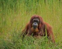 Orangután (pygmaeus del Pongo) Imagen de archivo libre de regalías