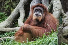 Orangután (pygmaeus) del Pongo, Borneo, Indonesia Fotos de archivo libres de regalías