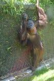 Orangután que cuelga hacia fuera Foto de archivo