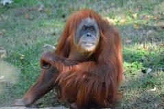 Orangután que mira encendido Foto de archivo libre de regalías