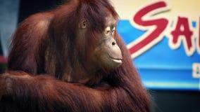 Orangután que se realiza en la demostración del parque zoológico