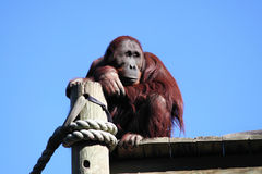 Orangután que soña despierto imagen de archivo