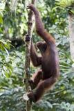 Orangután salvaje joven, Borneo Foto de archivo libre de regalías
