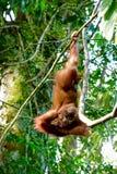 Orangután Sumatra al revés relajante, Indonesia del bebé Imagenes de archivo