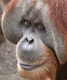 Orangután viejo 03 Fotografía de archivo