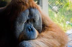 Orangután viejo tímido Fotografía de archivo