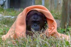 Orangután y consolador Fotografía de archivo libre de regalías
