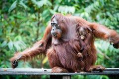 Orangután y orangután del bebé Fotografía de archivo