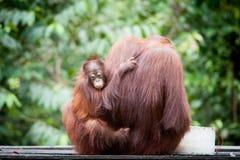 Orangután y orangután del bebé Imagen de archivo libre de regalías