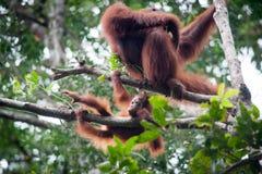 Orangután y orangután del bebé Fotografía de archivo libre de regalías