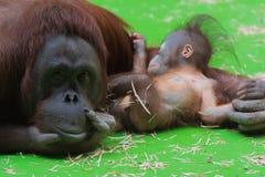 Orangut?n sonriente de la momia que toma cuidado de su peque?o beb? lindo so?oliento fotos de archivo libres de regalías