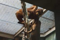 Orangutan, è nella gabbia Fotografia Stock Libera da Diritti