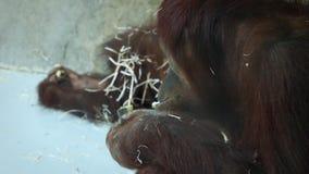 Orangutan łasowanie w zakończeniu up zbiory
