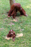 Orangutan και μωρό Bornean Στοκ φωτογραφία με δικαίωμα ελεύθερης χρήσης