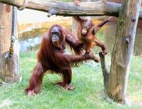 Orangutan και νήπιο Bornean Στοκ εικόνες με δικαίωμα ελεύθερης χρήσης