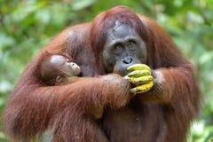 Orangutan και cub μητέρων σε έναν φυσικό βιότοπο Orangutan Bornean wurmmbii pygmaeus Pongo στην άγρια φύση Στοκ Εικόνα
