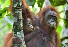 Orangutan και cub μητέρων Στοκ Εικόνες