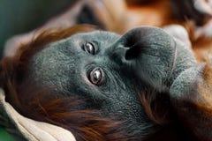 Orangutan κινηματογράφηση σε πρώτο πλάνο πορτρέτου που εξετάζει τη κάμερα Στοκ Εικόνες