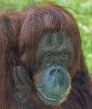 Orangutan κινηματογράφηση σε πρώτο πλάνο στοκ φωτογραφία με δικαίωμα ελεύθερης χρήσης