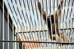 orangutan κλουβιών Στοκ Εικόνα
