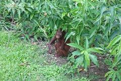Orangutan κρύψιμο στο χαμόκλαδο στοκ εικόνα με δικαίωμα ελεύθερης χρήσης