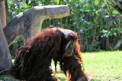 Orangutan, μεγάλος πίθηκος Στοκ φωτογραφία με δικαίωμα ελεύθερης χρήσης