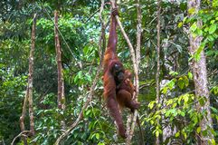 Orangutan με ένα μωρό Στοκ Εικόνα