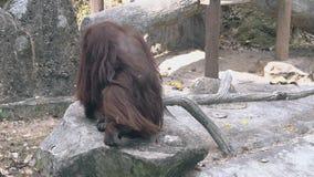 Orangutan με τη μακριά καφετιά γούνα στέκεται επάνω και αφήνει το βράχο φιλμ μικρού μήκους