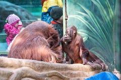 Orangutan, μητέρα και μωρό.  Μια σκηνή στο ζωολογικό κήπο Στοκ Εικόνες