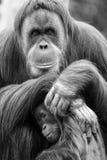 Orangutan μητέρων και μωρών Στοκ εικόνες με δικαίωμα ελεύθερης χρήσης