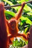 Orangutan μωρό Στοκ εικόνες με δικαίωμα ελεύθερης χρήσης