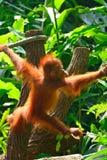 Orangutan μωρό Στοκ φωτογραφία με δικαίωμα ελεύθερης χρήσης