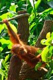 Orangutan μωρό Στοκ Εικόνες