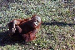 Orangutan μωρών παιχνίδι στη χλόη Στοκ Εικόνα