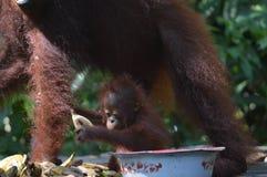Orangutan μωρών Στοκ φωτογραφίες με δικαίωμα ελεύθερης χρήσης