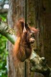 Orangutan μωρών Στοκ Φωτογραφίες