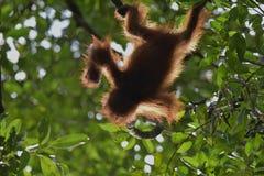 Orangutan μωρών (pygmaeus Pongo) Η cub σκιαγραφία orangutan σε πράσινη κορώνα των δέντρων Στοκ Φωτογραφίες