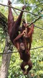 Orangutan οικογένεια στο ζωολογικό κήπο της Σιγκαπούρης Στοκ Φωτογραφίες