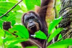 Orangutan που κρυφοκοιτάζει μέσω των φύλλων Στοκ φωτογραφία με δικαίωμα ελεύθερης χρήσης