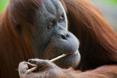 Orangutan κατανάλωση Στοκ εικόνες με δικαίωμα ελεύθερης χρήσης
